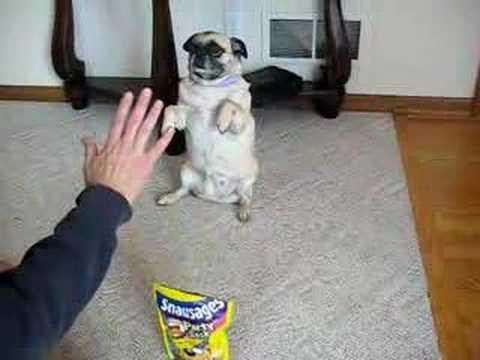 Angel The Pug Performs Amazing Tricks