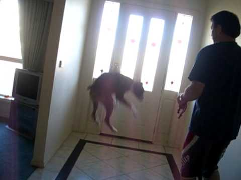 Boxer Excited To Go For A Walk