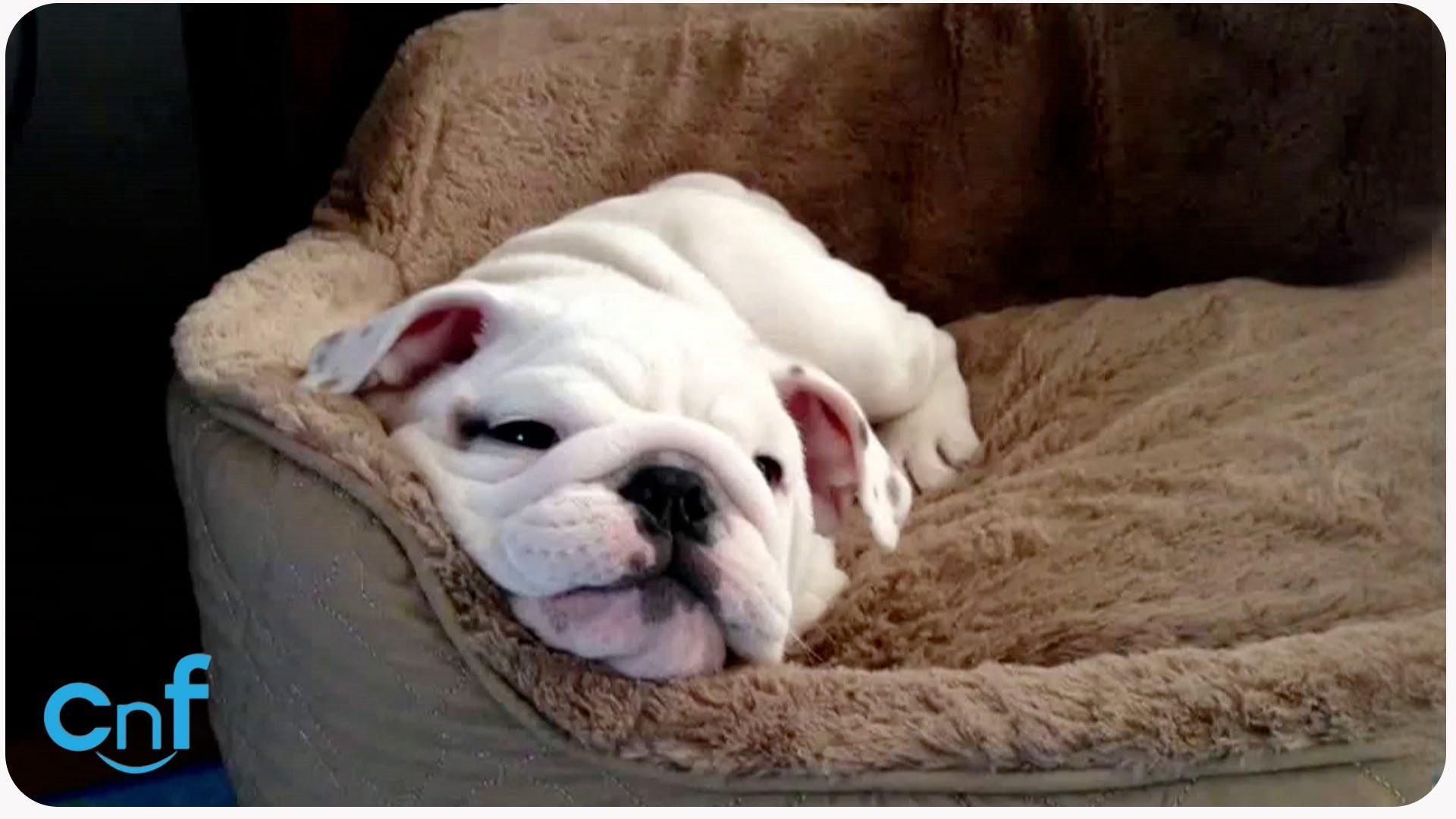 Sleeping English Bulldog Puppy Candy The English Bulldog Puppy
