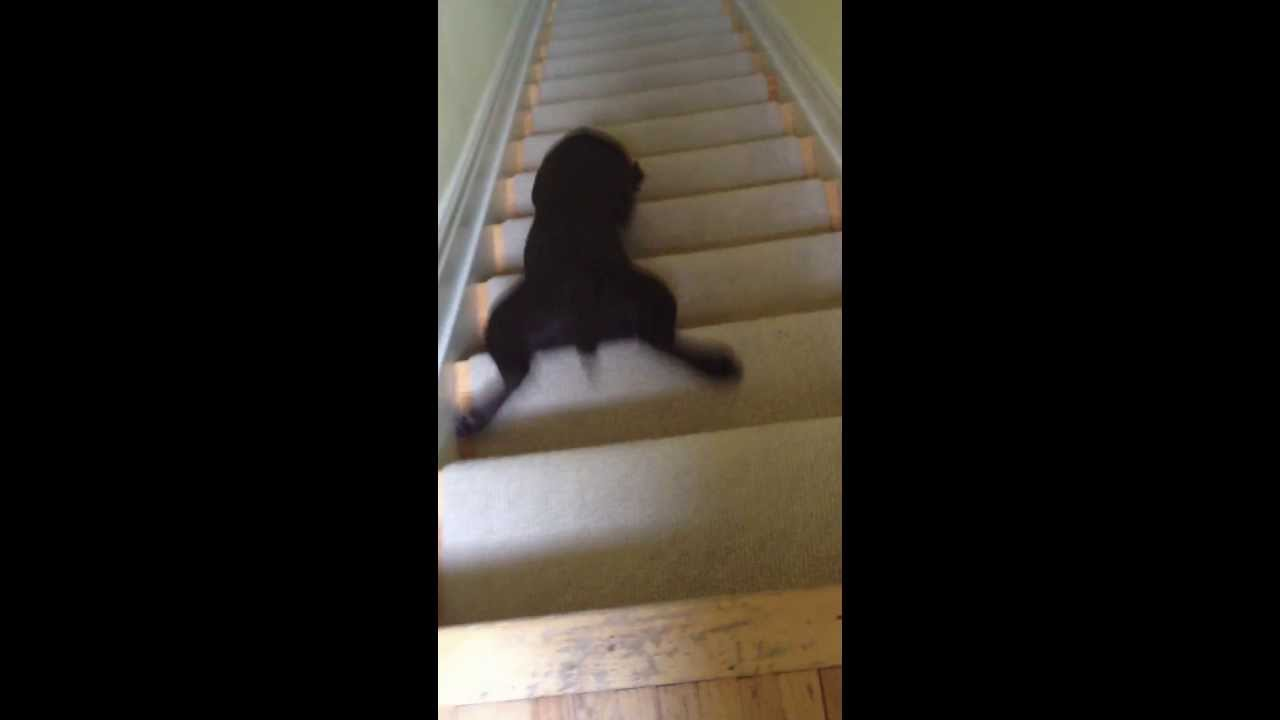 Cute Chocolate Lab Puppy's Shortcut Down The Stairs