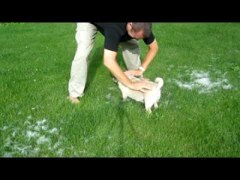 Do Pugs Shed? Amazing Shedding Pug Dog Hair Removal Technique