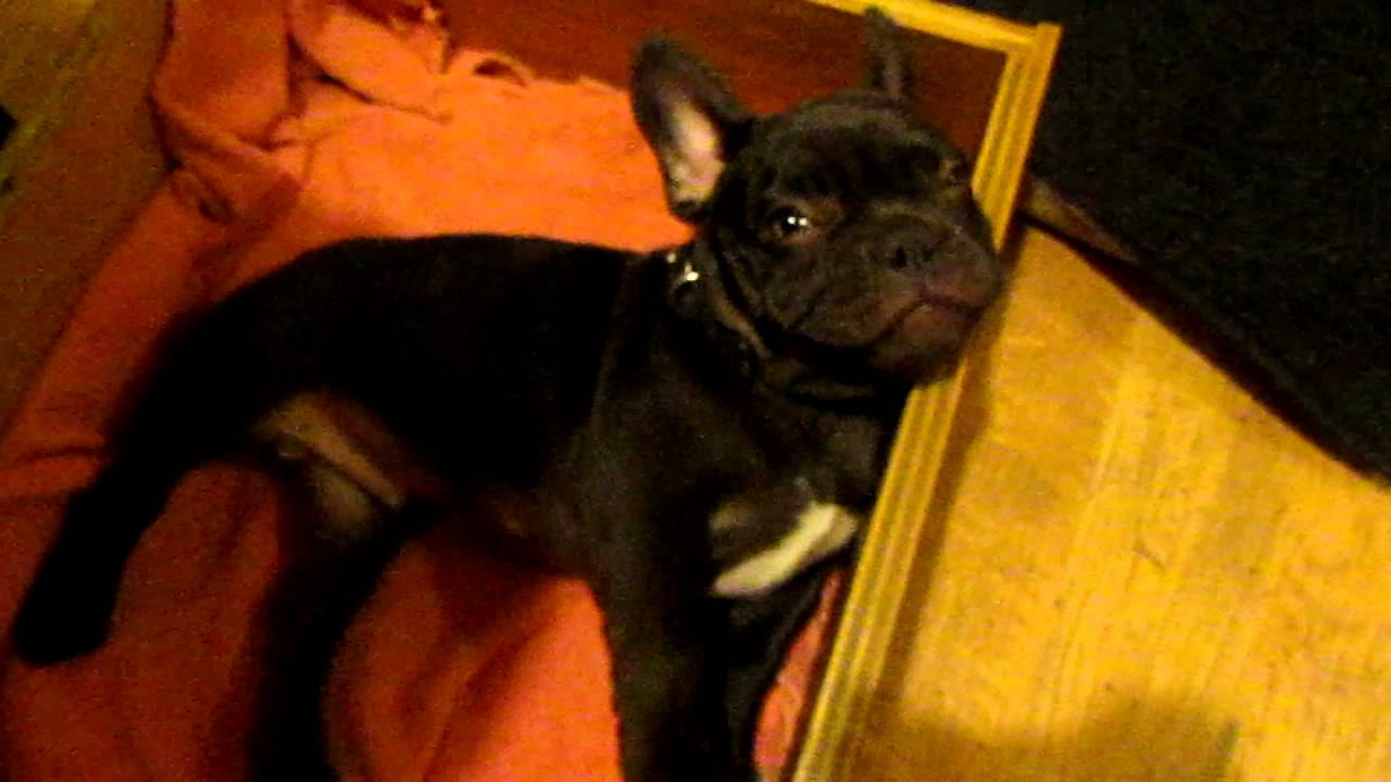 French Bulldog Puppy Argues Bedtime