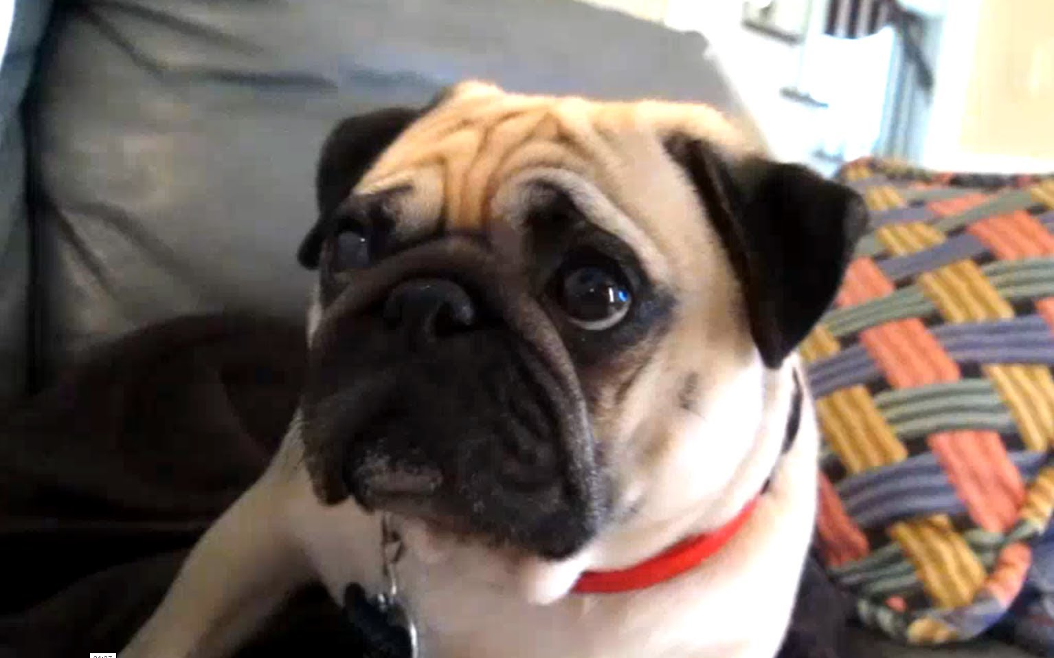Pug gets scolded takes it hard