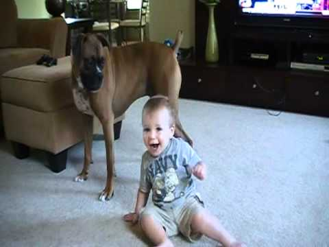 Boxer Attacks Baby… With Kisses!