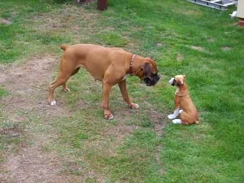 Boxer Meets Boxer Puppy Statue