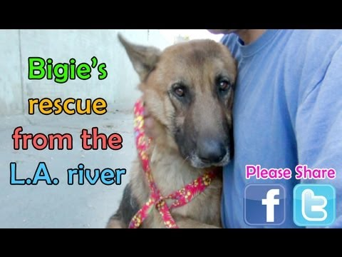 German Shepherd Rescued From The Los Angeles River