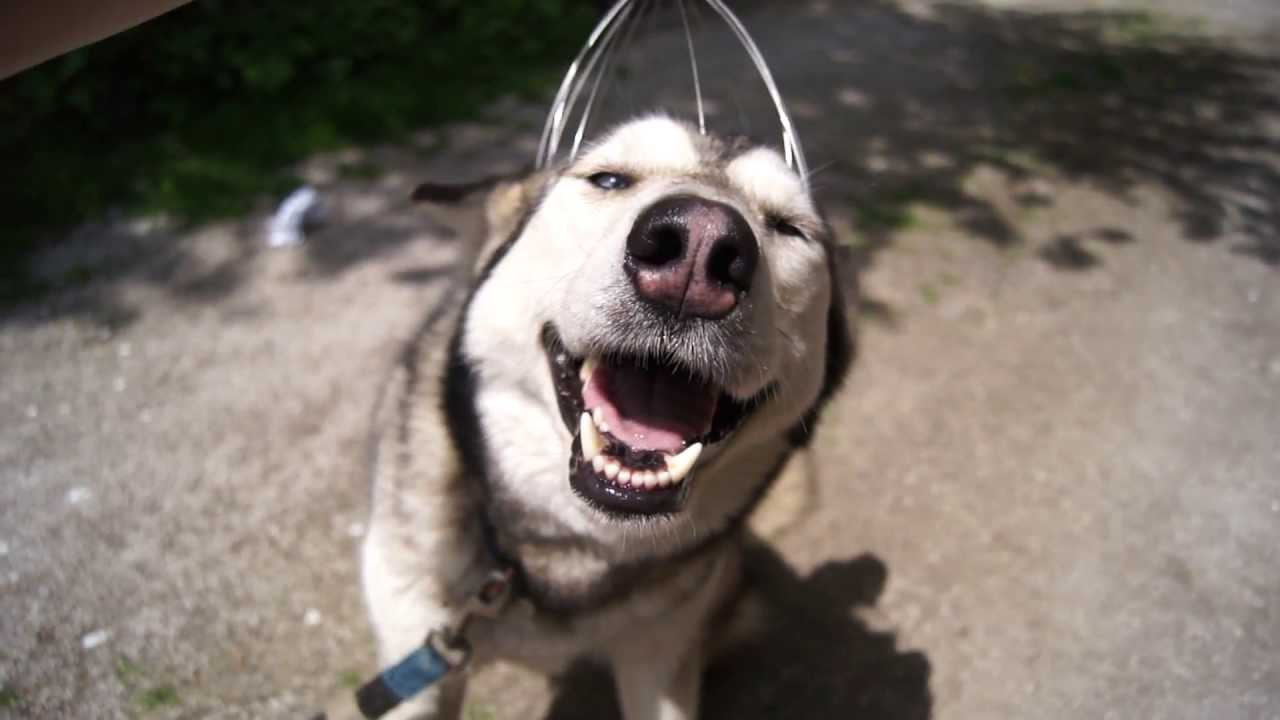 Husky Enjoys a Head Massage. This Will Make Your Day!