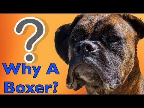 Why In The World Would You Get A Boxer?! Here Are 10 Reasons…