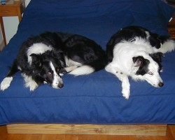 16 Reasons Border Collies Are Not The Friendly Dogs Everyone Says They Are