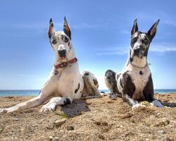 15 Reasons Great Danes Are Not The Friendly Dogs Everyone Says They Are