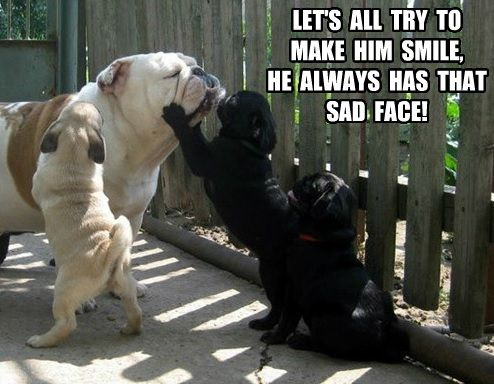 funny face english bulldog meme