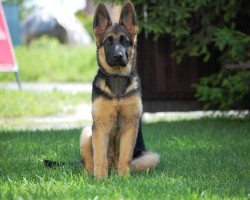 16 Reasons German Shepherds Are Not The Friendly Dogs Everyone Says They Are