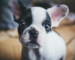 16 Reasons French Bulldogs Are Not The Friendly Dogs Everyone Says They Are