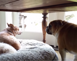 Adorable Bulldog ain't going silent when his bed is taken! Hilarious!