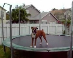 I Love This Boxer Dog, He Really Loves His Trampoline!
