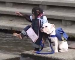 Adorable Bulldog and Monkey BFF given a big challenge!