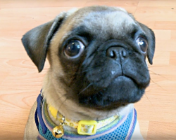 Pug Puppy Is Quite The Adorable Little Show Off