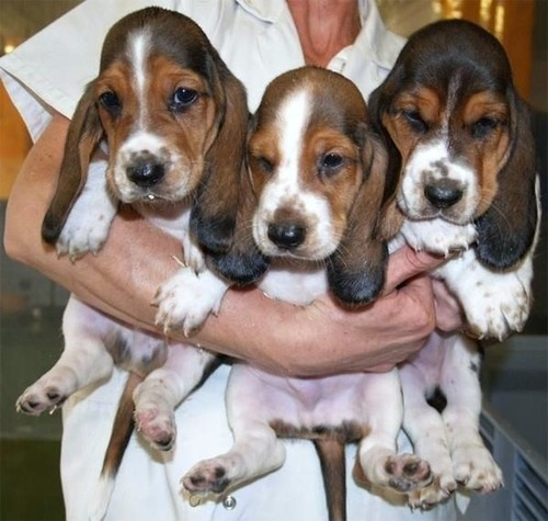 14 Signs You're A Crazy Basset Hound Person… and Damn ...