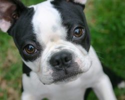 20 Things All Boston Terrier Owners Must Never Forget