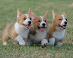 20 Things All Corgi Owners Must Never Forget