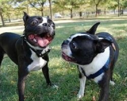 12 Reasons Boston Terriers Are The Worst Breed EVER