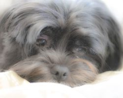 20 Things All Shih Tzu Owners Must Never Forget