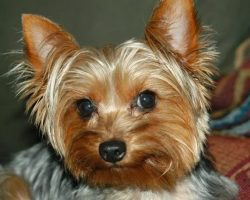 20 Things All Yorkie Owners Must Never Forget