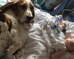 Basset Hounds Wouldn't Leave Dying Infant's Side