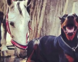 [Video] Amazing Friendship Between a Horse and a Doberman Will Make Your Day!
