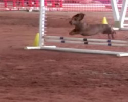 Super Fast Dachshund Competes In Agility Competition. Go, Long-Dog, GO!