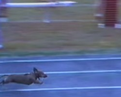 Determined Dachshund Wins The Race, But You Won't Believe What He Does To Win It!