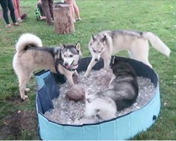 Huskies Refuse To Leave Pool Of Ice, Don't Want The Party To End