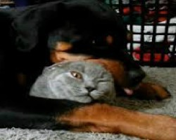 This Rottweiler LOVES His Kitty Friend. The Cat's Reaction Is Priceless!