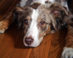 20 Things All Australian Shepherd Owners Must Never Forget. The Last One Brought Me To Tears…