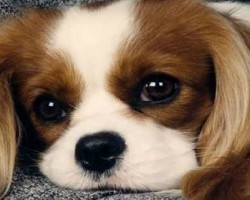 20 Things All Cavalier King Charles Spaniel Owners Must Never Forget