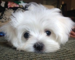 16 Reasons Maltese Dogs Are Not The Friendly Dogs Everyone Says They Are