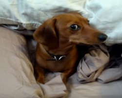This Dachshund Just Doesn't Want To Get Out Of Bed! Too Cute!