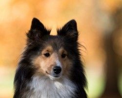 16 Reasons Shetland Sheepdogs Are Not The Friendly Dogs Everyone Says They Are