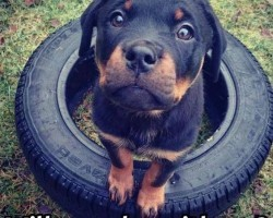 12 Hilarious Rottweiler Memes Will Make Your Day