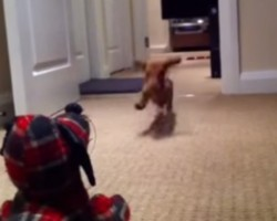 Dachshund Puppy Practicing His Rugby Tackle On The Draft Stopper Will Make Your Day