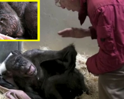 59 Year Old Chimpanzee 'Mama' Is Sick And Refusing Food – When She Recognizes Her Old Friend… Wow