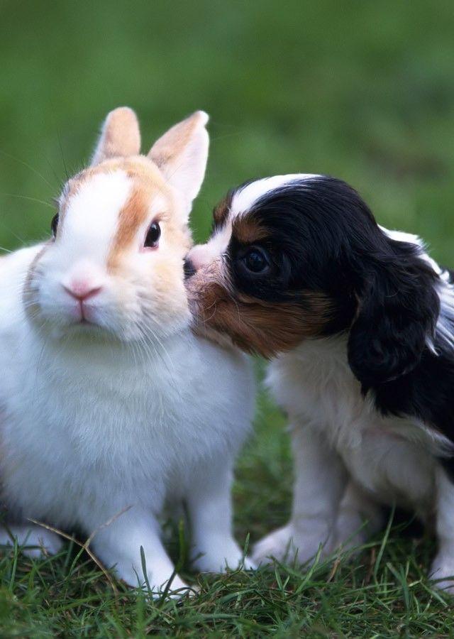 cavalier spaniel dog rabbit pics