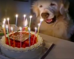 When This Golden Turned 15, His Family Showed Him How Much He Was Loved