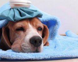 How To Protect Your Dog from Dog Flu: Canine Influenza (CIV) In Dogs