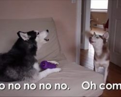 Husky Tries To Convince Her Sister To Share A Toy