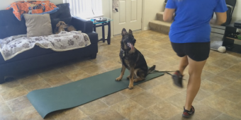 German Shepherd Puppy Makes The Best Workout Partner