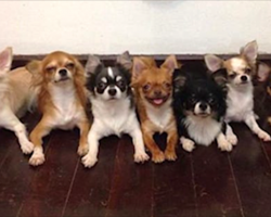 These 7 Chihuahuas All Live Together, But It's Their 'Dad' You've Got To See