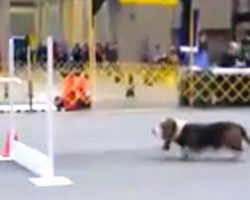[Video] Basset Hound Competes On Agility Course And What He Does Has Everyone Laughing And Cheering
