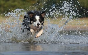 border-collie-667488_1280