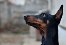 Top 10 Smartest Dog Breeds In The World